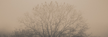 Tree of Crow